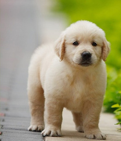 Name Golden Retriever Other Names No Origin Great Britain Size Type Large Dog Breeds Breed Group Sporting AKC Life Span 10 13 Years